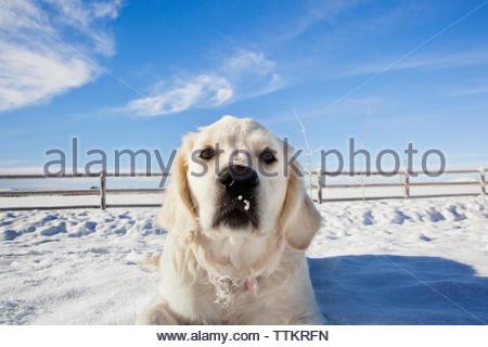 Portrait of Labrador Retriever lying on snow field against blue sky - Stock Photo