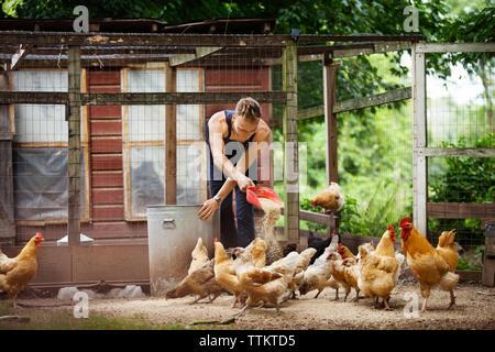 Farmer feeding hens in animal pen - Stock Photo