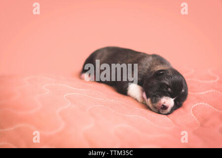 Close-up of cute puppy sleeping on pet bed against coral background - Stock Photo