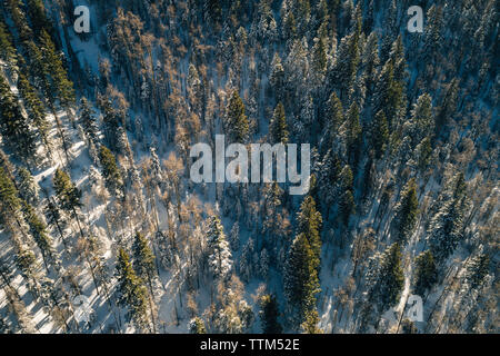High angle view of pine trees on snow covered field in forest - Stock Photo