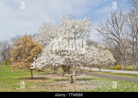 Star Magnolia in bloom at a St. Louis city park in spring. - Stock Photo
