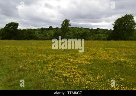 Birds-foot-trefoil in meadows close to Down House, Downe village, Kent, near Bromley, Biggin Hill, Orpington and Sevenoaks - Stock Photo