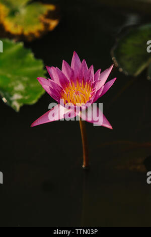 High angle view of lotus water lily growing in lake - Stock Photo