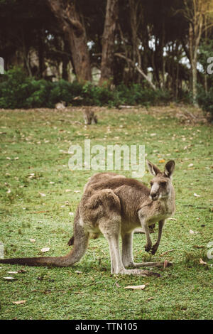 Side view of kangaroo standing on grassy field in forest - Stock Photo