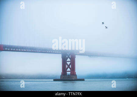 Low angle view of birds flying by Golden Gate bridge during foggy weather - Stock Photo