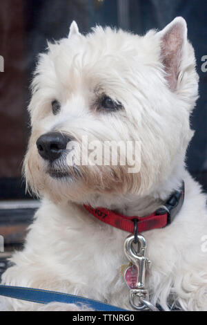 Adult male West Highland White Terrier (Westie) dog lying on front steps facing the camera and looking out at the neighborhood, alert - Stock Photo