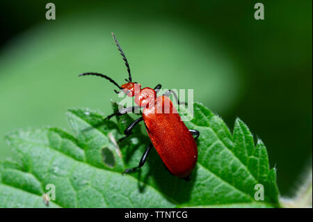 A Red Headed or Common Cardinal Beetle (Pyrochroa serraticornis) on a Nettle Leaf at Tophill Low Nature Reserve, East Yorkshire - Stock Photo