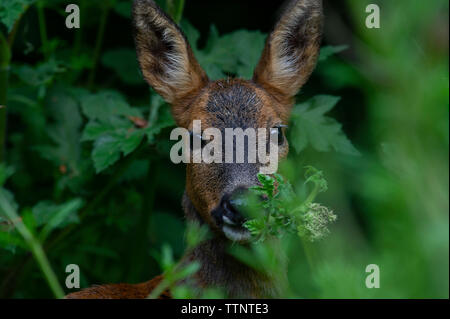 A close up of a Roe Deer (Capreolus capreolus) in the woodland at Tophill Low Nature Reserve in East Yorkshire - Stock Photo