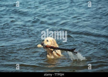 Cute dog with wooden stick in water - Stock Photo