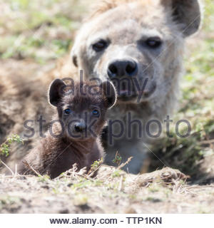 Portrait of cub with hyena on field in den during sunny day - Stock Photo