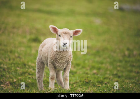 Portrait of lamb on field - Stock Photo
