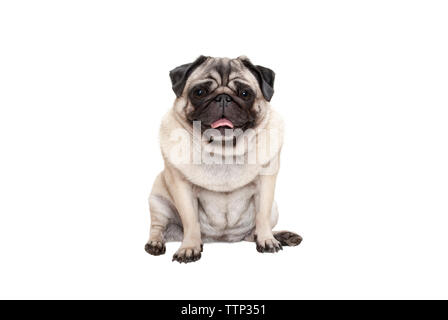 adorable cute smiling pug puppy dog sitting down with tongue out, isolated on white background - Stock Photo