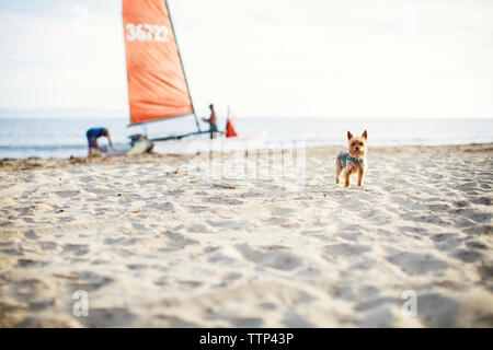 Portrait of Yorkshire Terrier standing at beach with family in background - Stock Photo