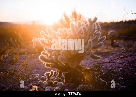 Cactus growing in desert field during sunset - Stock Photo