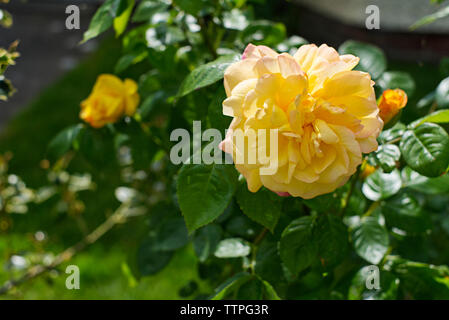 Yellow rose with a little pink colour in a residential front garden. - Stock Photo