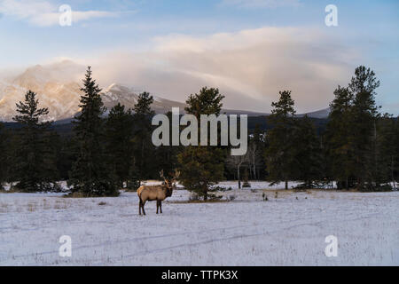 Stag standing on snow covered field against cloudy sky - Stock Photo
