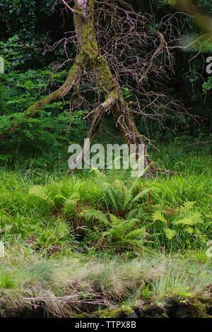 Gnarly Dead Tree with Ferns. Hembury Woods on a Late Summers Afternoon. Buckfastleigh, Dartmoor, Devon, UK. - Stock Photo