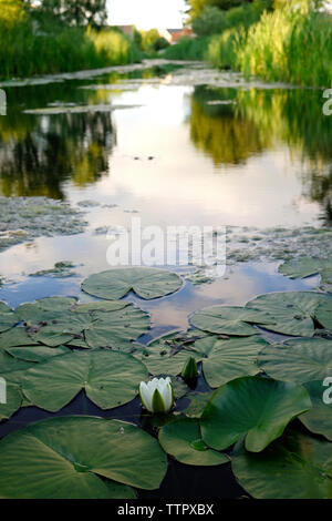 High angle view of lotus water lily in lake - Stock Photo