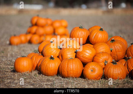 Pumpkins on hay at field during sunny day - Stock Photo