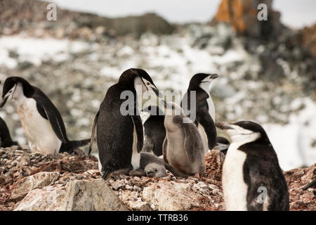 Penguins standing on rocks during winter - Stock Photo