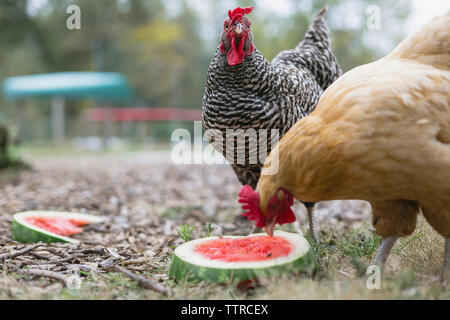 Hens feeding on watermelon slices while perching on grassy field - Stock Photo