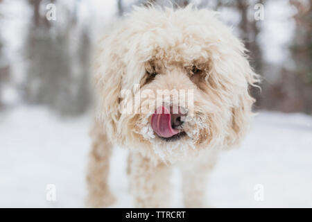 Close-up portrait of dog sticking out tongue standing on snow covered field - Stock Photo