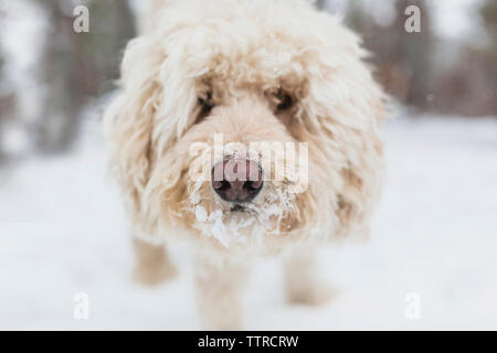 Close-up portrait of dog standing on snow covered field - Stock Photo