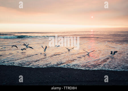 Seagulls flying over sea against sky at Redwood National Park during sunset - Stock Photo