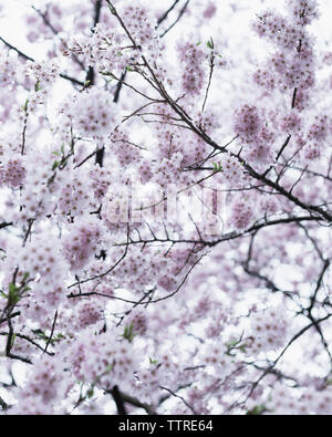 Low angle view of flowering cherry blossom tree - Stock Photo