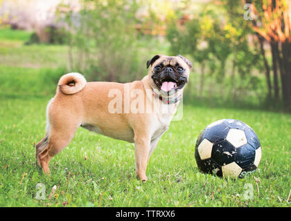 Pug sticking out tongue while standing by ball at park - Stock Photo