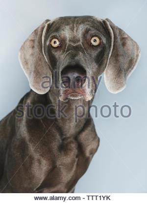 Close-up of Weimaraner against white background - Stock Photo