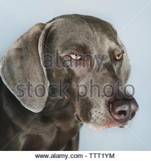 Close-up of Weimaraner looking away against white background - Stock Photo