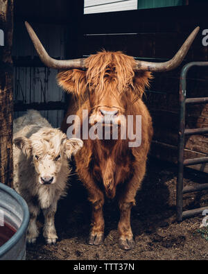 Portrait of highland cattle and calf standing in barn - Stock Photo
