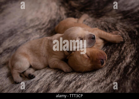 High angle view of cute puppies sleeping on rug at home - Stock Photo