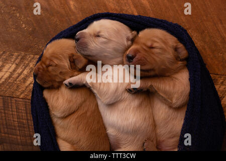 Close-up of cute puppies sleeping in pet bed on hardwood floor at home - Stock Photo