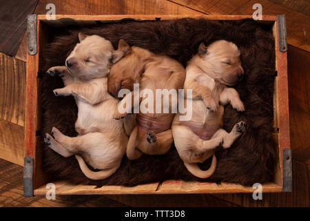 Overhead view of cute puppies sleeping in pet bed on hardwood floor at home - Stock Photo