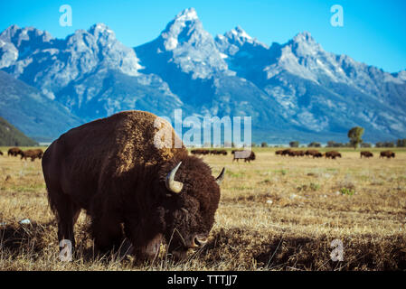 American bison grazing on grassy field at Grand Teton National Park - Stock Photo