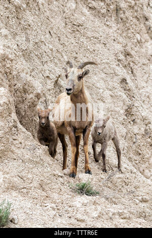 Female of  bighorn sheep (Ovis canadensis) with two lambs at the cliff of Badlands National Park, South Dakota, USA - Stock Photo
