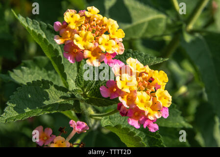 Colorful Lantana camara flowers at Atlanta Botanical Garden in Gainesville, Georgia. (USA) - Stock Photo