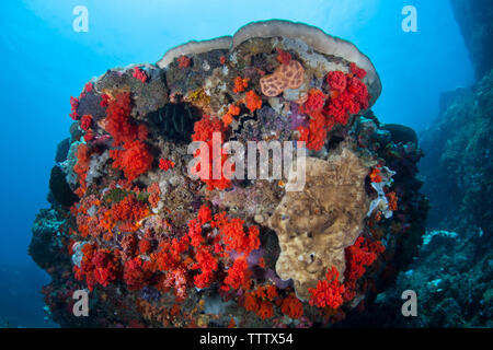 Brightly colored soft corals grow on a coral bommie on a deep reef in Indonesia. Soft corals thrive where there is at least a bit of current. - Stock Photo