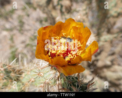Bright orange buckhorn cholla cactus, Cylindropuntia acanthocarpa, blossom with a bee nestled in the red stamens - Stock Photo