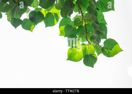 Bodhi leaves on a white background - Stock Photo