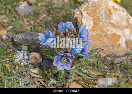 Close up / Macro of Meconopsis Horridula, better known as Prickly Blue Poppy. Beautiful Mountain Flower, Papaveraceae family. Near Nam Tso Lake, Tibet - Stock Photo