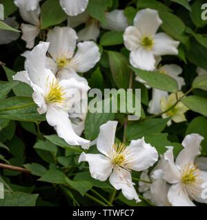 Clematis montana grandiflora - Stock Photo
