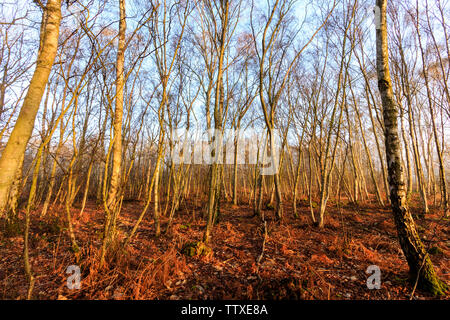 Blean woods, Canterbury. Trees and woodland in dawn early morning light during the Golden Hour. Spring or autumn seasonal view. Trees bare. - Stock Photo