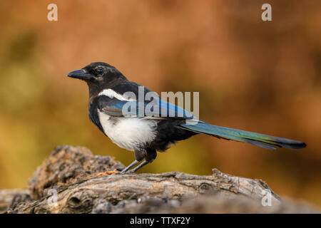European Magpie - Pica pica, common black and white perching bird from European gardens and forests, Hortobagy National Park, Hungary. - Stock Photo