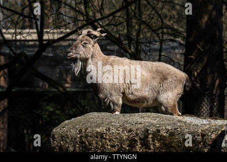 Turkmenian markhor, Capra falconeri heptneri. The name of this species comes from the shape of horns, twisting like a corkscrew or screw. Markhor is o - Stock Photo