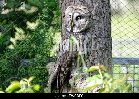 Great grey owl in Falconry Harz,Germany. - Stock Photo