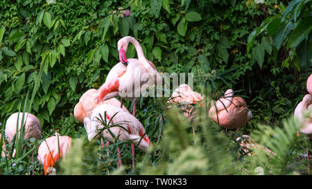 A group flamingo resting in the lake among the trees at a day hot summer. Phoenicopterus roseus with green background in a lake of Southeast Asia. - Stock Photo