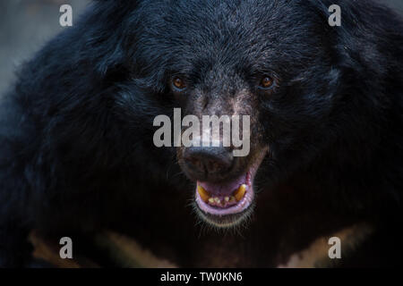 Closeup to the face of an adult Formosa Black Bear in the forest at a day hot summer. Ursus Thibetanus Formosanus - Stock Photo